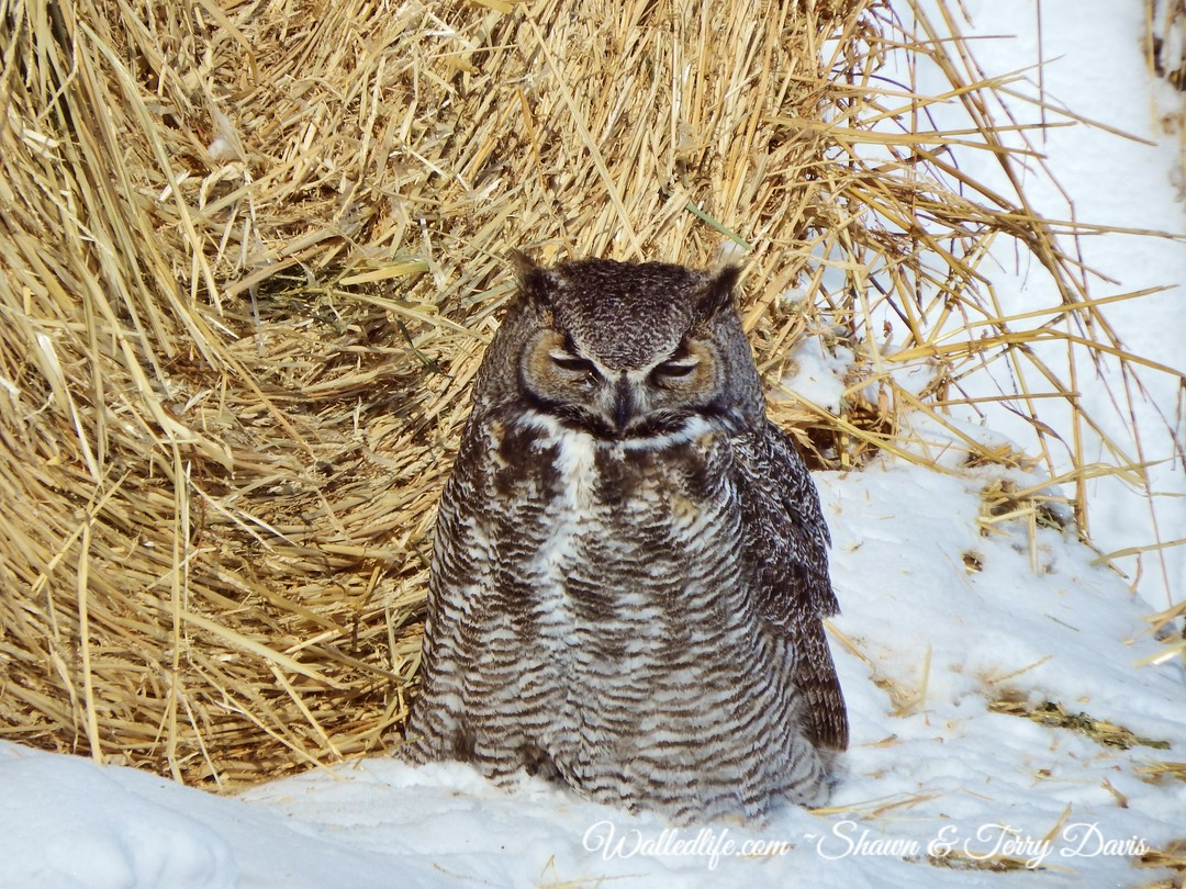 Great Horned in the Hay