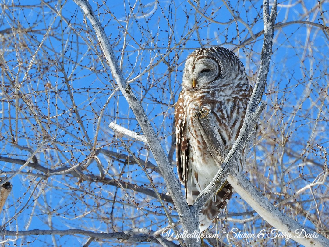 Barred Owl March 2019 8