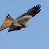 Red Kite ( Milvus milvus) Wales, 2014