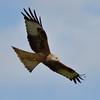 Red Kite ( Milvus milvus) Wales, 2014