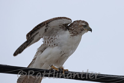 Red-Tailed Hawk - Leg Banded
