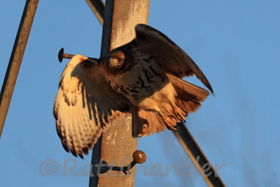 Red-Tailed Hawk - LegBanded