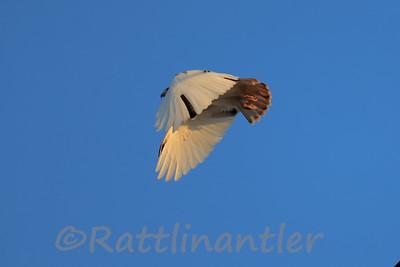 Red-Tailed Hawk - Leucistic