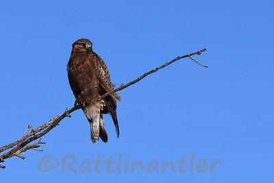 Rough-Legged Hawk - Dark Morph