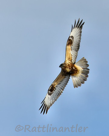 Rough-Legged Hawks