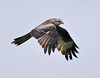 Red Kite ( Milvus milvus) Wales, 2009
