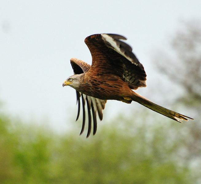 Red Kite ( Milvus milvus) Wales, 2009