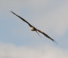 Red Kite, Oxfordshire, 2009