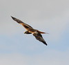 Red Kite, Oxfordshire, 2009