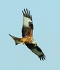 Red Kite, Oxfordshire.  Gathering nesting material.