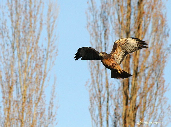 """Hawk in Flight"""