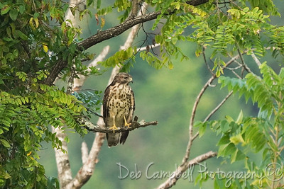 Red-tailed Hawk (immature)