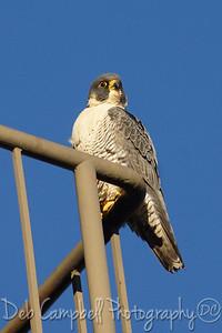 Peregrine Falcon Maryville, Tn