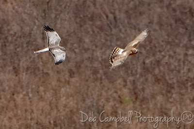 Northern Harriers (male and female)