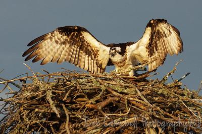 Female Osprey on Nest Blythe Ferry Boat Landing Dayton, Tn