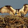 Female Osprey on Nest<br /> Blythe Ferry Boat Landing<br /> Dayton, Tn
