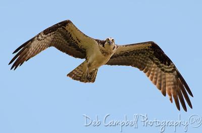 Female Osprey