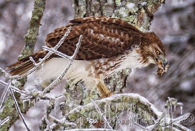 Hawk eating Carolina Wren
