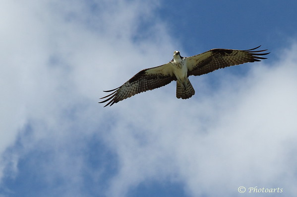 """Osprey on the Prowl"""