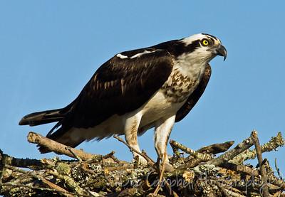 Male Osprey on Nest Dayton, Tn