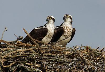 Nesting Osprey Pair Male on left-Female on right Blythe Ferry  Dayton, TN