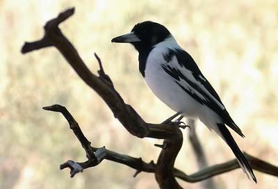 Butcherbird, Cracticus torquatus. Alice Springs Desert Park, NT, Australia. November 2008