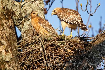 Red Shouldered Hawks Nesting