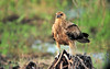 Whistling Kite, Haliastur sphenurus. Fogg Dam Conservation Reserve, NT, Australia. April 2015