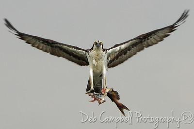 Male Osprey approaching the nest with a catch Blythe Ferry Boat Landing Dayton, Tennessee