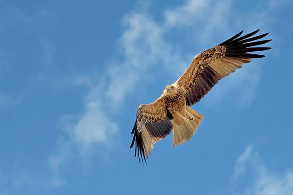 Whistling Kite, Haliastur sphenurus. Adelaide River,  NT, Australia. April 2010