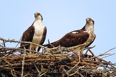 Osprey pair nesting