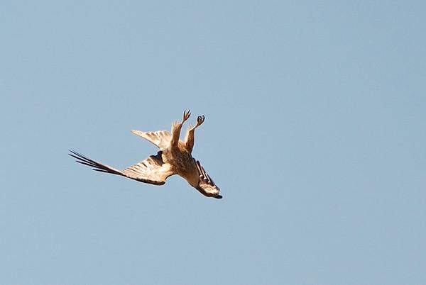 Whistling Kite, Haliastur sphenurus. Adelaide River,  NT, Australia. September 2007