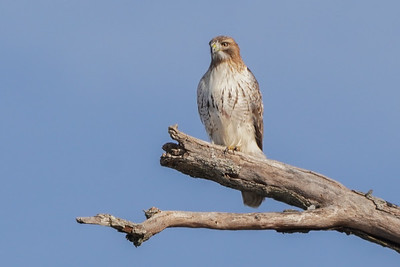 Red-tailed Hawk (male)