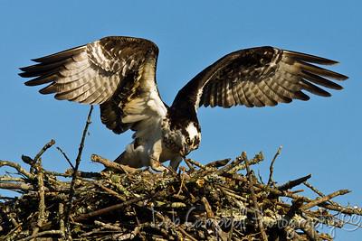 Osprey doing a little housekeeping