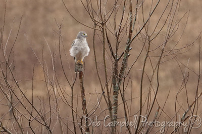 Northern Harrier Hawk (male)