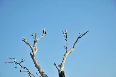 Haliaeetus leucogaster, White-bellied Sea-eagle