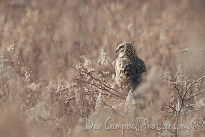 Northern Harrier Hawk (female)