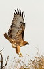 """Sky Raptor"" A Red Tailed Hawk comes in to land. Captured in Kern National Wildlife Refuge, California. #99111231  © Payam Nashery - Photoarts"