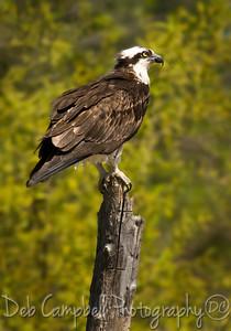 Female Osprey perched near nest. Dayton, Tn
