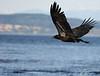 """Juvenile Blad Eagle"""