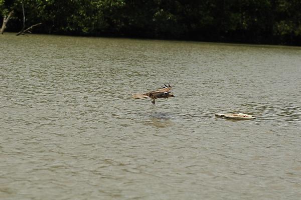 Whistling Kite, Haliastur sphenurus. Adelaide River,  NT, Australia. November 2008