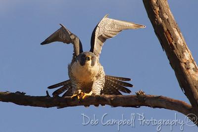 Peregrine Falcon Maryville Greenbelt Blount County, Tn