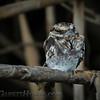 Ladder-tailed Nightjar (Hydropsalis climacocerca)