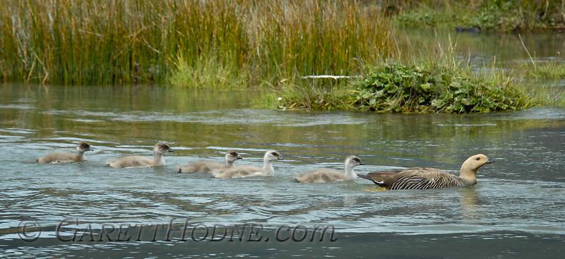 Upland Goose (Chloephaga picta) female with goslings
