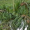 Nesting Palm Tree for Yellow-rumped Caciques (Cacicus cela)