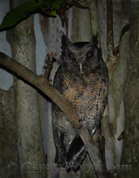 Tawny-bellied Screech-Owl (Megascops watsonii)