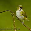 White-lored Euphonia (Euphonia chrysopasta) singing his heart out!