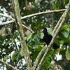 Amazonian Umbrellabird (Cephalopterus ornatus)
