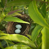 Tanagers nest (sp?)