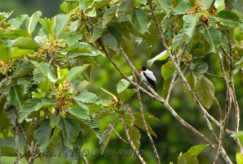 Black-tailed Tityra (Tityra cayana)